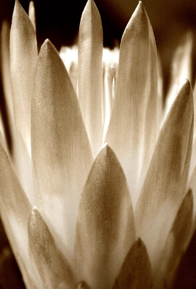 The Copper Protea