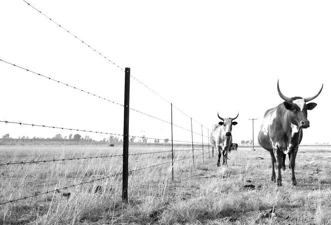 Nguni at Wired Fence Print L0026