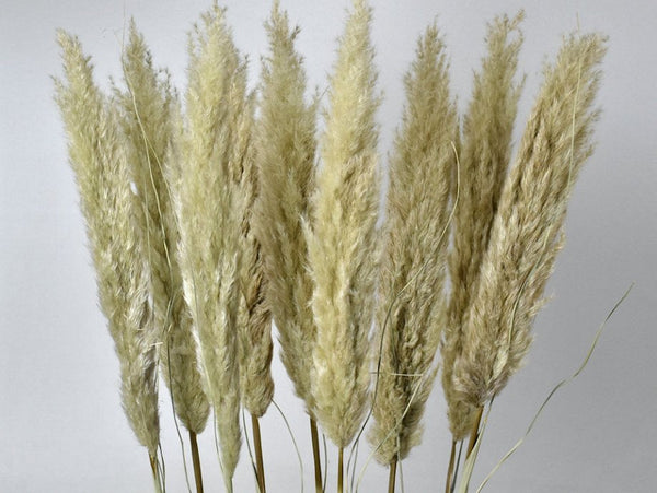 Pampas Grass Bundel 3 stuks | 15x15x110 | Naturel