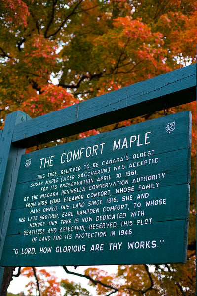 Maple, Comfort Sugar Maple
