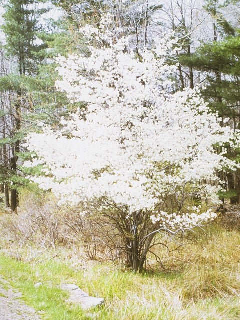 Serviceberry, Downy