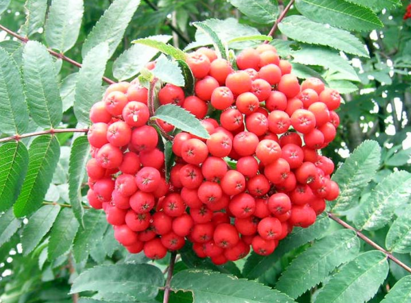 Mountain Ash, Cardinal Royal