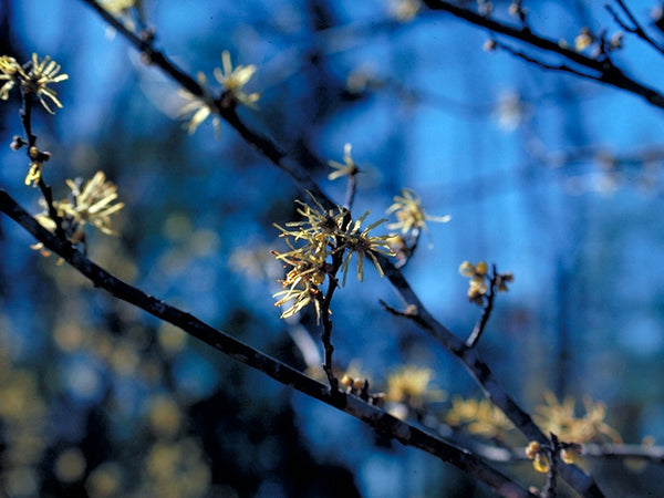 Common Witchhazel (Container)