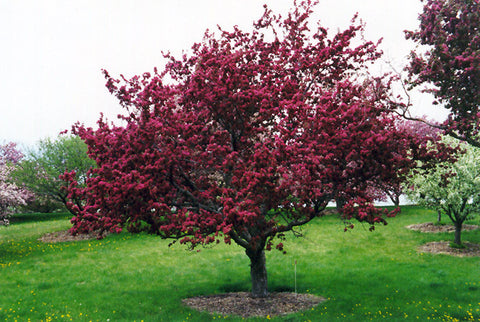 Crabapple, Profusion