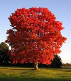 Maple, Native Red