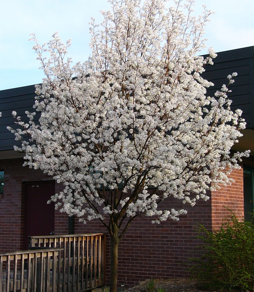 Serviceberry, Robin Hill