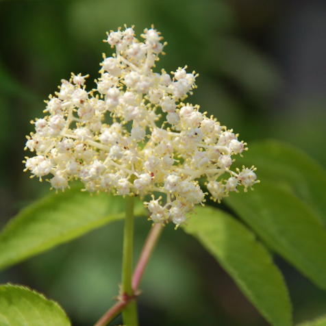 Elderberry Shrub (Container)