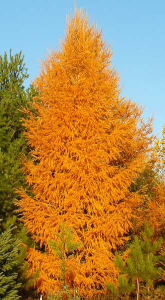 Larch, Eastern (Container)