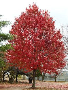 Maple, Armstrong Red