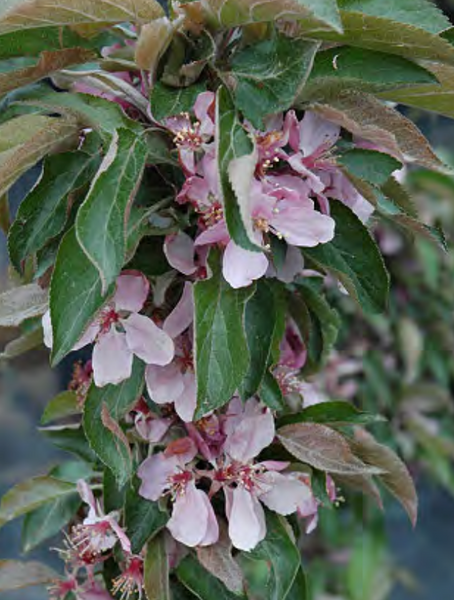 Crabapple, Dreamweaver