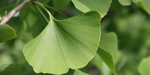 Ginkgo Biloba, Maidenhair Tree