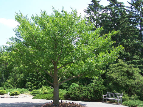 Ginkgo Biloba, Maidenhair Tree (150 cm)