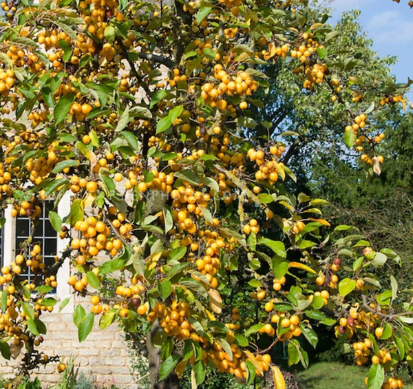 Crabapple, Harvest Gold