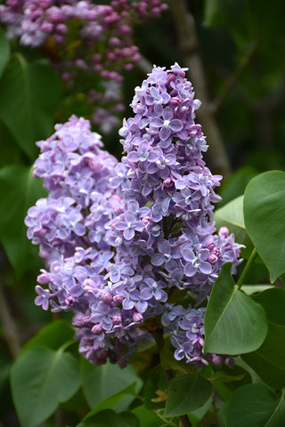 Lilac, President Grevy
