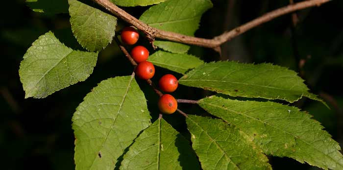 Winterberry Shrub (Container)