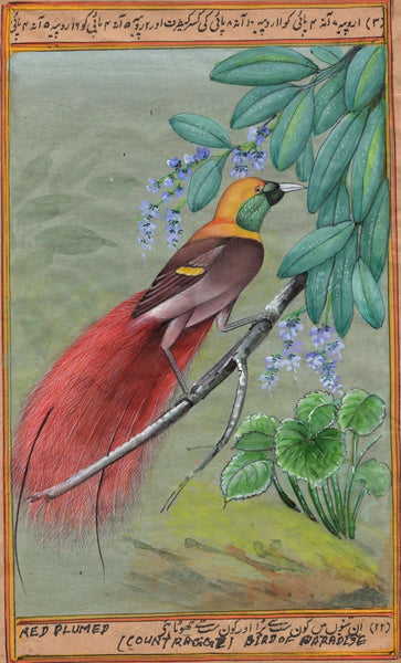 Count Raggi Bird of Paradise Painting Rare Handmade Indian Miniature Nature Art