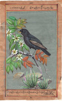 Common Starling Bird Art Rare Handmade Indian Miniature Ornithological Painting