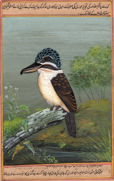 Hook Billed Kingfisher