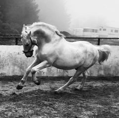 Kladruber stallion Generale Ariosa XLVIII-4 photo courtesy of owner Petra Simms Sekerkova, Woodside, California, USA