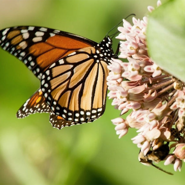 The CLEAN Guide To Butterfly Friendly Flora