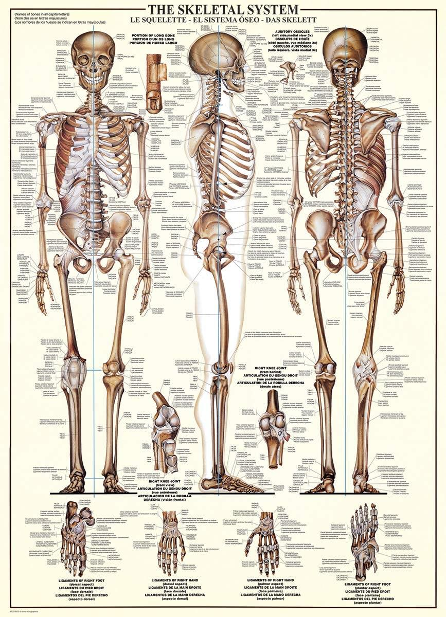 Eurographics The Skeletal System Jigsaw Puzzle (1000 Pieces)