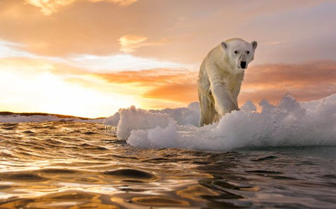 Polar bear walking on a melting sheet of ice