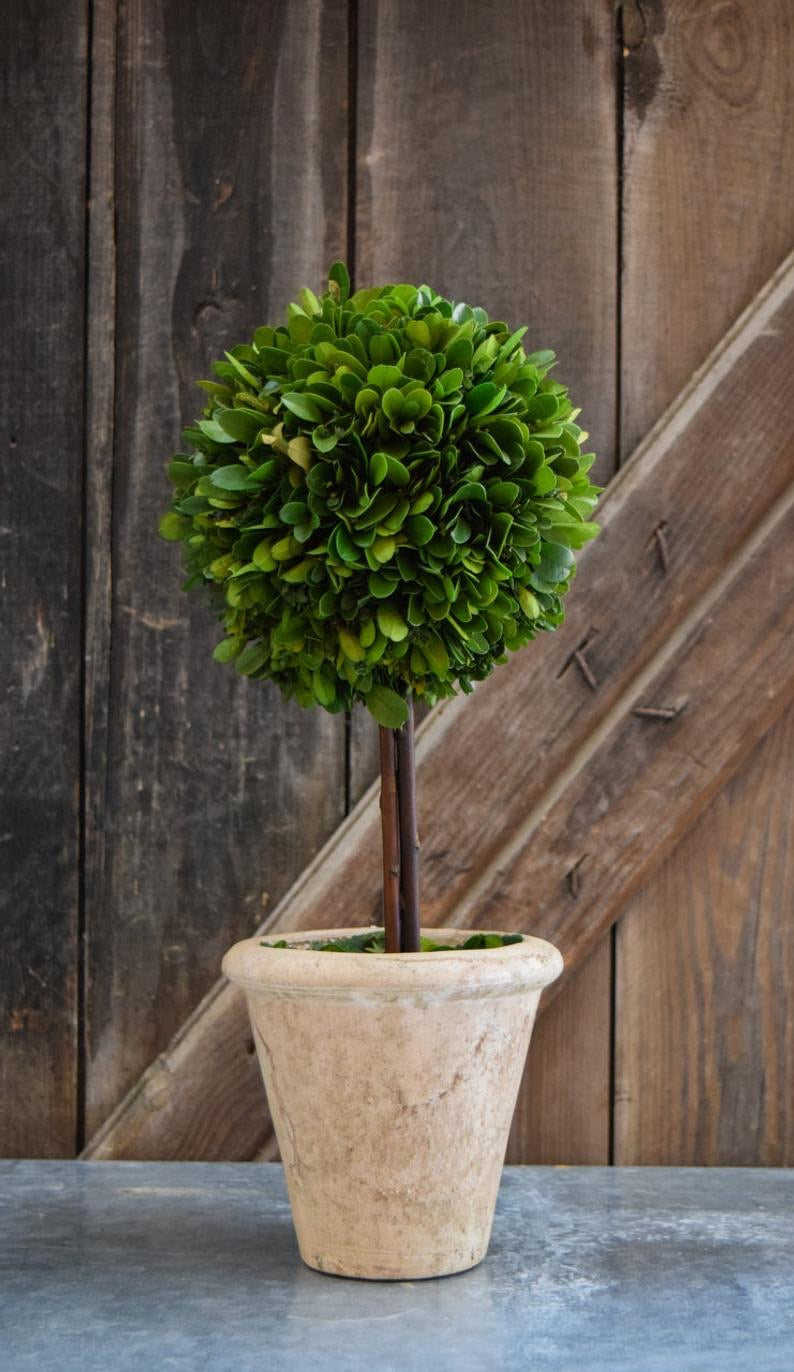 "16"" Single Ball Preserved Boxwood Topiary"