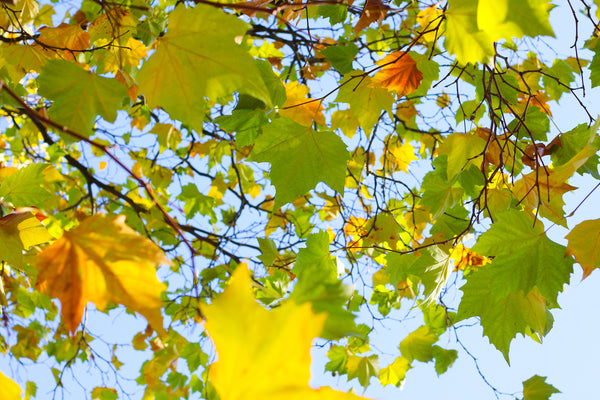 photo looking up into tree leaves and you can see the blue sky behind the leaves
