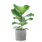 Ficus Lyrata Plant in 9.25 In. Ceramic Pot