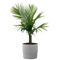 Majesty Palm in 9.25 in. Ceramic Pot
