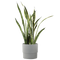 Sansevieria Grower's Choice in Ceramic Pot