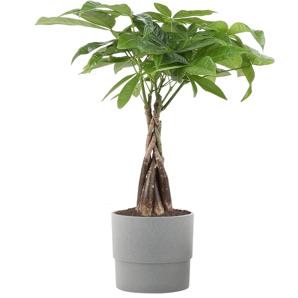 Guiana Chestnut Money Tree