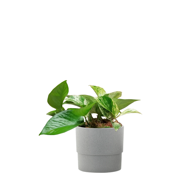 Pothos Desktop Plant in 4 in. Ceramic Pot