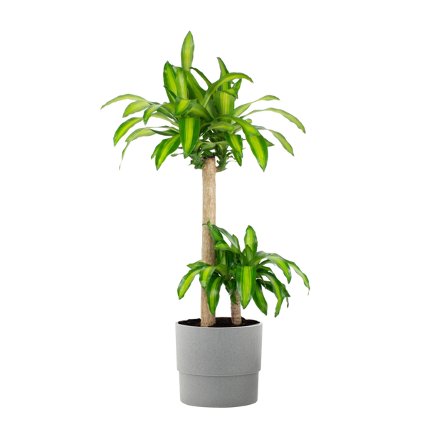 1.9 Gal. Dracaena Mass Cane Stalk Plant in 9.25 In. Ceramic Pot