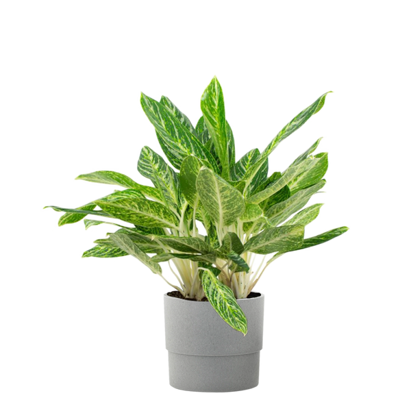 1.9 Gal. Aglaonema Golden Madonna Chinese Evergreen Plant in 9.25 In. Ceramic Pot