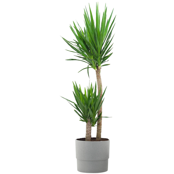 1.9 Gal. Yucca Cane Plant in 9.25 In. Grower's Pot