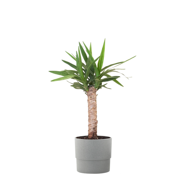 6 in. Yucca Cane Live Indoor Houseplant Shipped in Grower Pot