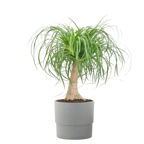 Elephant's Foot Live Indoor Beaucarnea Guatemalensis Houseplant