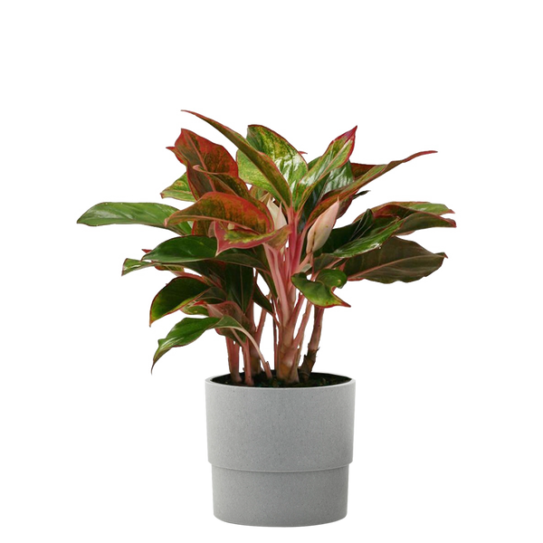 Aglaonema Creta in 6 in. Grower Pot