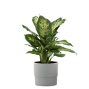 Dieffenbachia in 6 in. Grower Pot