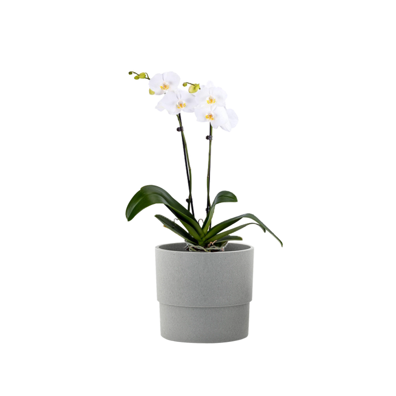 5 in. Orchid White in Container