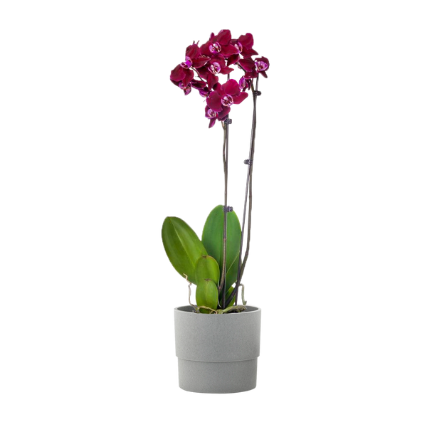 Purple 5 in. Orchid Plant in Ceramic Pot (2-Stems)