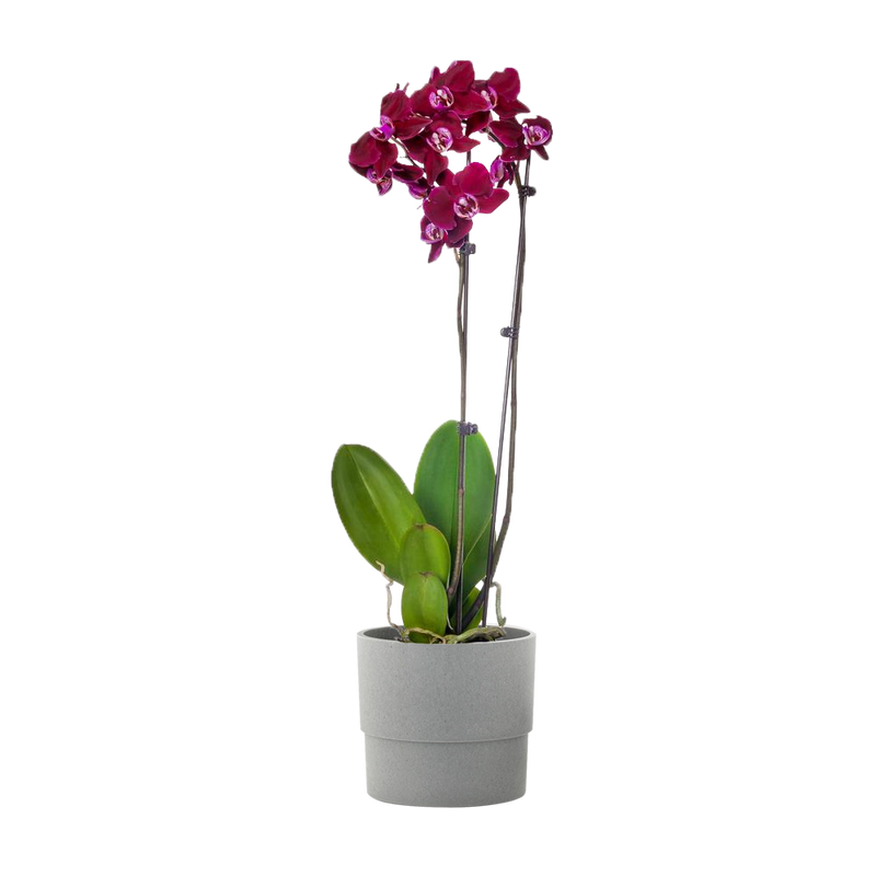 Purple 5 in. Orchid Plant in Wood Pot (2-Stems)