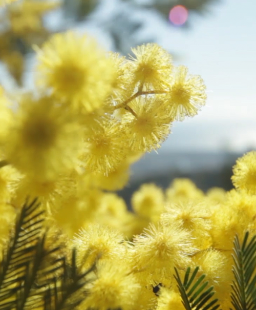 Floral - Mimosa In The Air