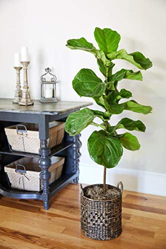 Fiddle Leaf Fig in 3 Gallon Pots - The Most Popular Indoor Fig Tree- Tall, Live Indoor Fig Trees