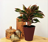Costa Farms Siam Red Colorful Aglaonema (Chinese Evergreen) Live Indoor Plant in Self-Watering Waterwick Planter, Rosewood
