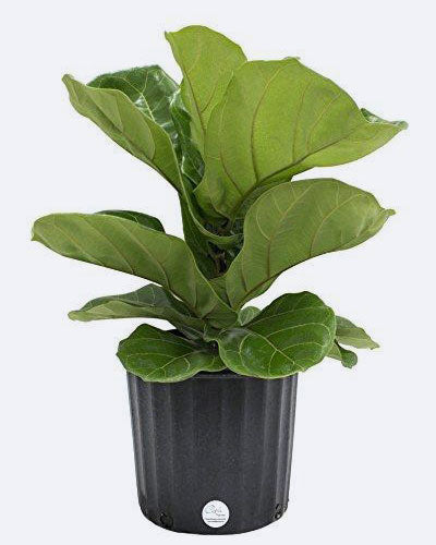 Costa Farms Premium Live Indoor Ficus Lyrata, Fiddle-Leaf Fig Floor Plant in 8.75-Inch Grower Pot