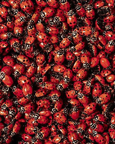 Double Order 3000 Live Ladybugs (2 Packs of 1500) - Beneficial Insects - Fresh Premium Young Ladybugs