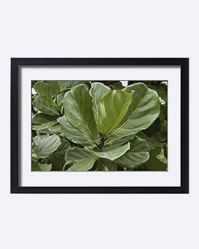 Media Storehouse Framed 24x18 Print Of Fiddleleaf Fig