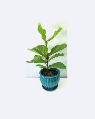 Live Mid-Size Fiddle Leaf Fig Plant